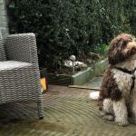 labradoodle, training, privetraining
