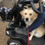 Goldenretriever, privetraining, scootmobiel, scootmobieltraining, privé training, hondentraining