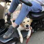 Scootmobiel, training, privetraining, goldenretriever