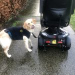Golden retriever, scootmobiel training, honden training, prive training